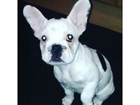 Female kc reg French bulldog