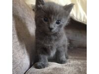 British blue grey mixed kittens
