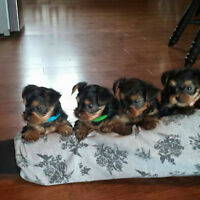 Stunning teacup yorkies available in a few weeks