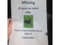 Missing all grey cat