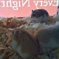 Campbell's Russian Dwarf Hamsters