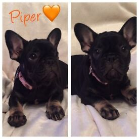 REDUCED!!!! Quality KC French Bulldog Puppies