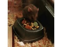 Syrian hamster, cage and accessories
