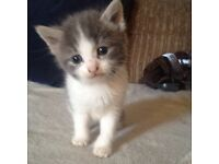 TINY GREY AND WHITE KITTEN!