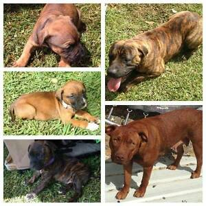 Mastiff x Staffy Pup LAST ONE!!! Seville Grove Armadale Area Preview