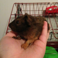 updated------baby guinea pigs for sale