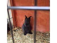 Llion head bunnies for sale