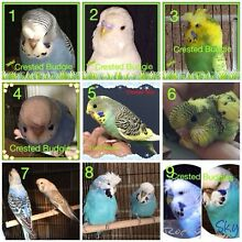 CRESTED BUDGIES - CRESTED BUDGIES !!! Keysborough Greater Dandenong Preview