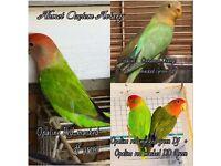 Variety of lovebirds for sale