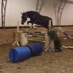 Warmblood Gelding for Lease Only
