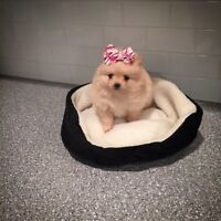 CUTE❤️Pom Puppies! ❤️Mini Size❤️