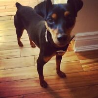2 year old miniature pinscher for sale