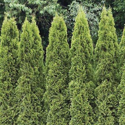 American Arborvitae, White Cedar, Thuja Occidentalis, Tree ...