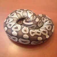 Mojave ball python for only $100