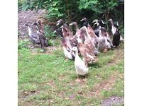 Indian runner ducks, 6 months old