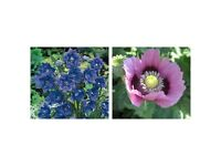 100's ++ of Seeds from these 2 Flowers - £2 for the Lot