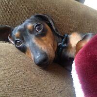 Free Weener dog photos