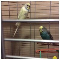 2 budgies - no cage