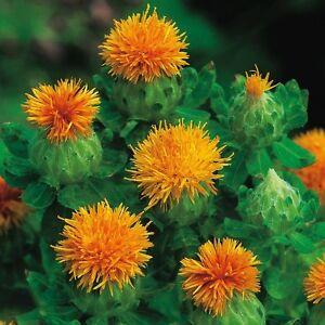 Herb Seeds - Saffron Thistle - 50 Seeds