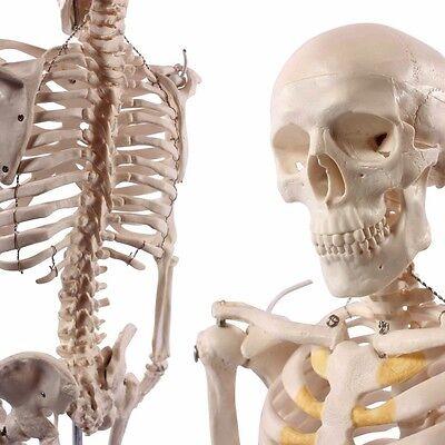 Mini Skelett Modell, 85cm, menschlich, Anatomie, Studium, Physiotherapie