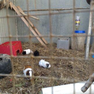 Guinea pig babies Corrigin Corrigin Area Preview