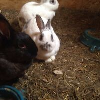 Mixed Rex bunny rabbits