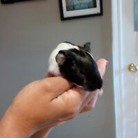 Free baby guinea pigs
