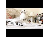 Rabbit Pure mini dwarf lop doe comes with cage and many extras