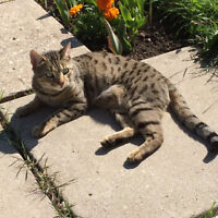 Lost 2 year old cat