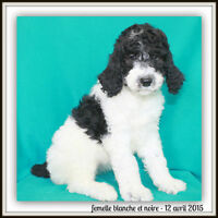 Caniche standard (royal) pure race enregistré