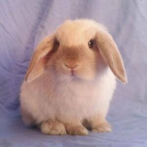 Mini Lop Rabbit Baby - Sweet Chocolate Point Boy - Ready NOW Joondalup Joondalup Area Preview