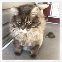 5 yr female Maine coon cat