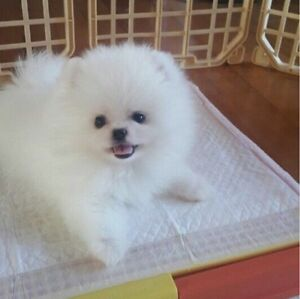 Beautiful Teacup White Pomeranian is looking for new home
