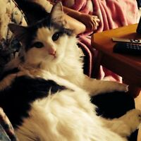 Gorgeous male cat for sale