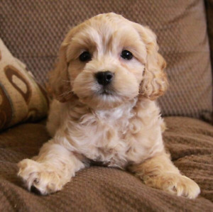 Looking for a Cockapoo puppy!