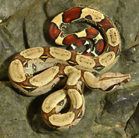 Serpents Boa Constrictor (Boa Argentin & Boa Guyanais Red Tail)