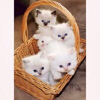 ** Tortie Bluepoint & Sealpoint Himalayan Kittens **
