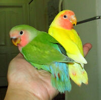BEAUTIFUL handfed baby lovebird ==ON HOLD