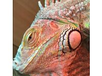 Max the green iguana