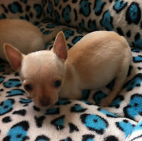 Blonde Chihuahua Puppies