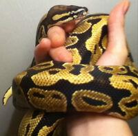 het Orange Ghost ball python