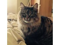 Cat missing from Crown area of Inverness