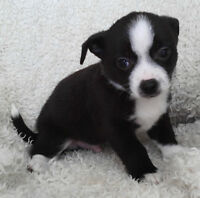 Chihuahua Puppy Short Coat Male First Shots Dewormed Very Loving