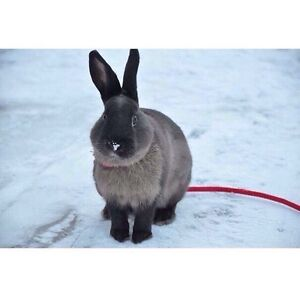 Bunny rabbit for sale