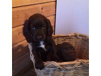 For sale cocker spaniel puppy's