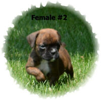Champion Sired CKC Registered Boxer Puppies