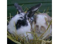 Luxury Rabbit Pet Boarding and Sitting