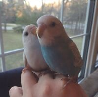 5 month old baby budgies