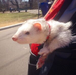 Best Ferret ever needs a new home - moving abroad