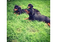 Beautiful dachshund puppies